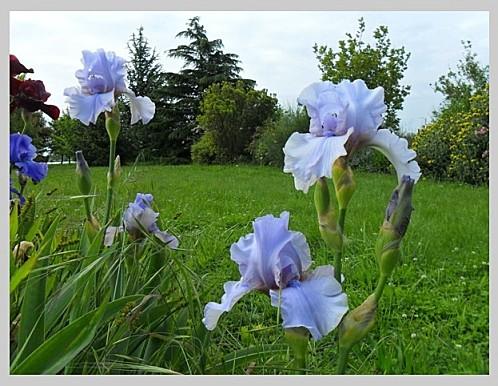 Iris 12