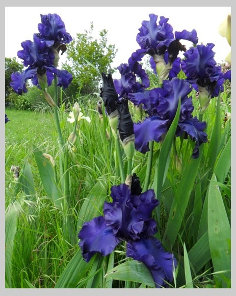 iris et fleurs du jardinla passion au bout des doigts le nouveau blog la passion au bout. Black Bedroom Furniture Sets. Home Design Ideas