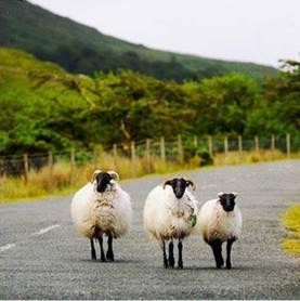 moutons d''rlande