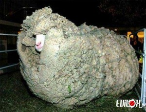 mouton-laine