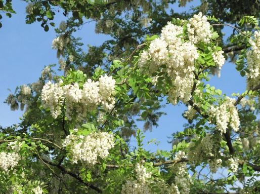 Fleurs d'acacia gif