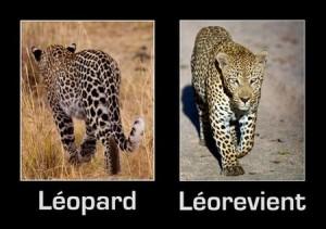 Humour léopard