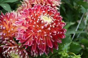 dahlia-fleur-chrysantheme-akita